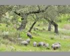 Iberisch varken