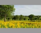Gele lupine
