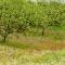 Vijgen boomgaard
