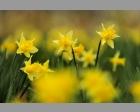 Wilde Narcis