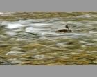 waterspreeuw