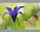 Romulea ramiflora
