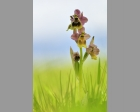 Wolzwever Ophrys