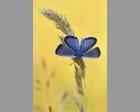 Heideblauwtje