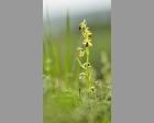 Vroege spinnenophrys