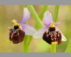 Hommelophrys