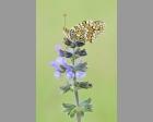 Knoopkruid parelmoervlinder