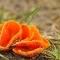 Grote oranjebekerzwam