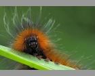 rups Bruinebeervlinder