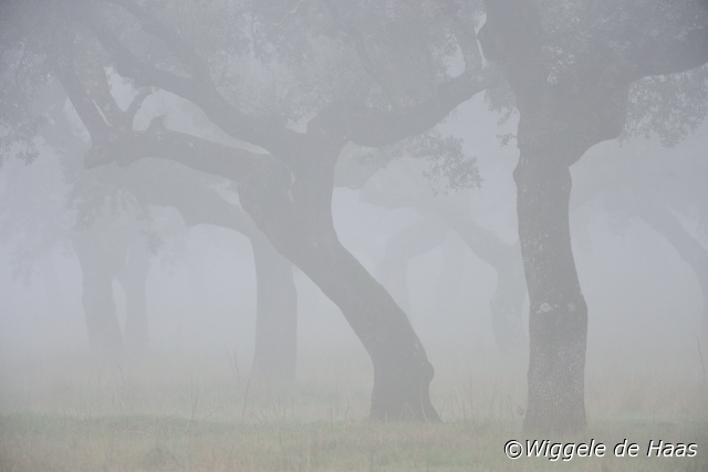 Steeneik in mist
