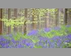 Varens tussen de Wilde hyacint