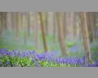 Wilde hyacint in het Tranendal