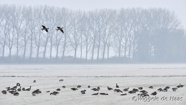 Kolganzen in winters landschap
