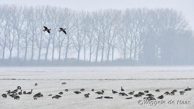 Kolganzen in winters landschap