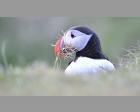 Papagaaiduiker