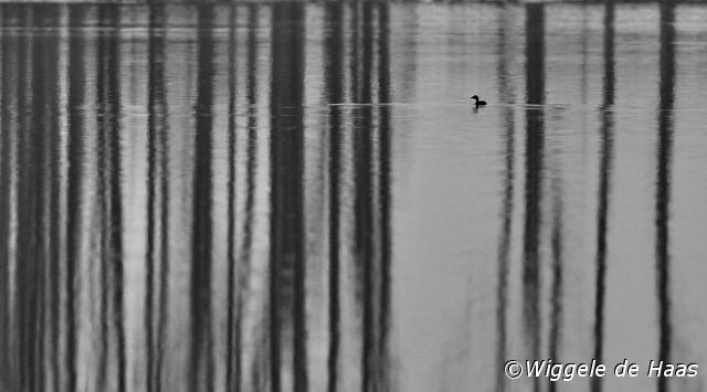 Dodaars in zwart-wit