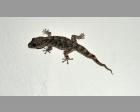 Tenerife gekko