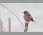 Roodborsttapuit (vrouwtje)
